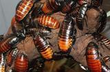Таракан мадогаскарский
